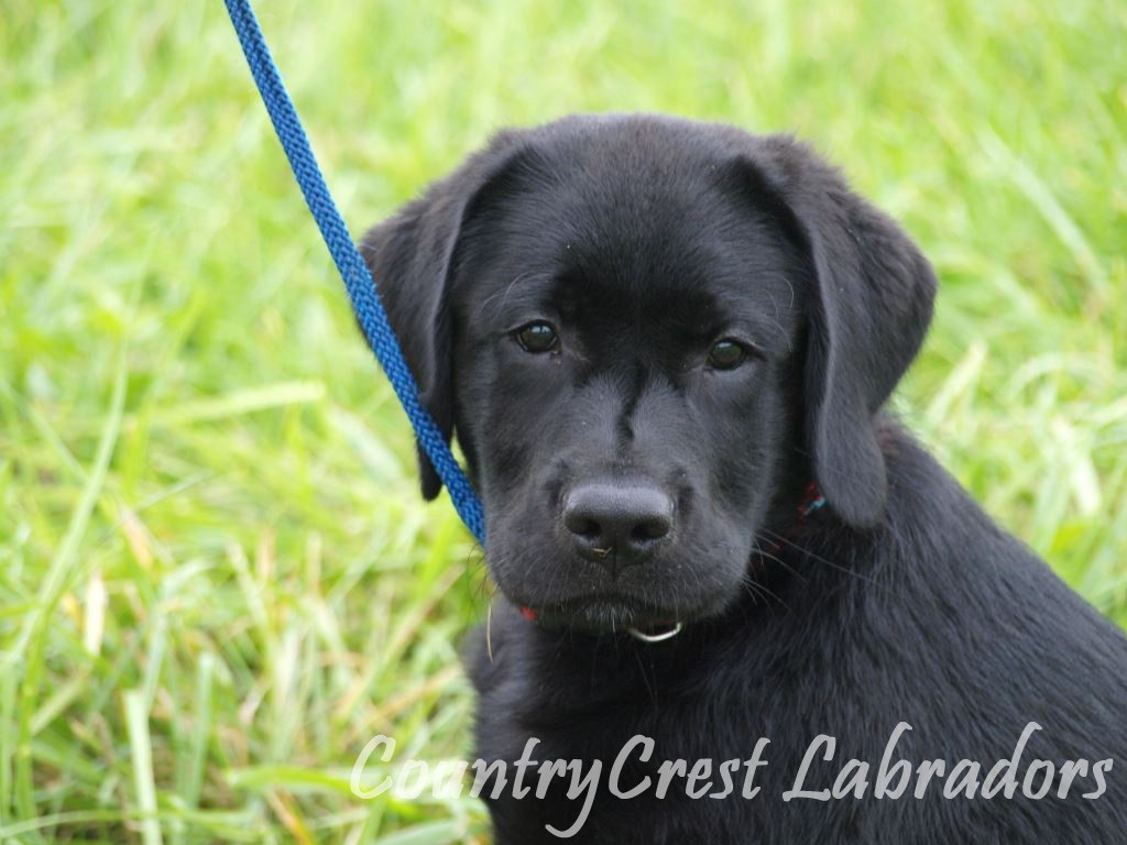 Golden Moon Labradors, Maryland. Lab puppies for sale in Golden Moon